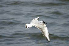 Free Flying Seagull Stock Image - 742721