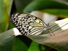 Free Butterfly Royalty Free Stock Image - 742836