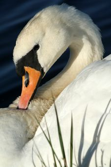 Free Grooming Swan Stock Photo - 742860