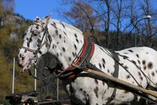 Free Dalmatian Horse Royalty Free Stock Photography - 742867