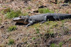 Free Alligator  3 Royalty Free Stock Photos - 743048