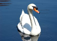 Free Swimming Swan Stock Images - 743424