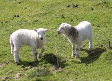 Free Two Lambs Royalty Free Stock Image - 743756
