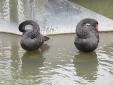 Free Two Black Swans With Reflections Royalty Free Stock Photography - 744167