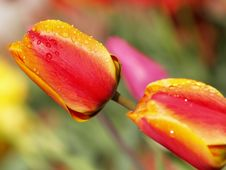Free Red And Yellow Tulips Stock Images - 744844