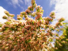 Zoom/motion Shot Of Peach Blossoms Royalty Free Stock Photo