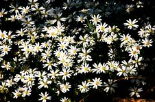 Free Daisies Stock Photo - 745400