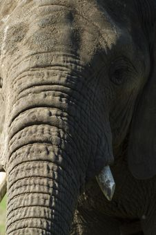 Free Elephant Portrait Stock Image - 745531