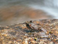 Free Frog On River Rock Stock Image - 745581