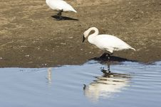 Free Reflection Of A Swan Royalty Free Stock Images - 745709