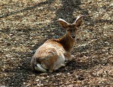 Free Pere David´s Deer Royalty Free Stock Photo - 746405