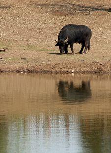 Free Buffalo Royalty Free Stock Images - 746769
