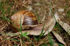 Free Snail Moving On The Ground Stock Photography - 747102