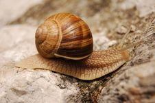 Free Snail Moving On A Rock Royalty Free Stock Photos - 747118