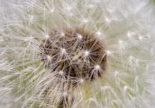 Free Dandelion Stock Photo - 747800