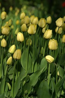 Free Yellow Tulips Stock Images - 748624