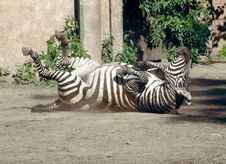 Free Zebra Wallowing Stock Photography - 748812