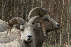 Free Long Horn Sheep Stock Image - 749471