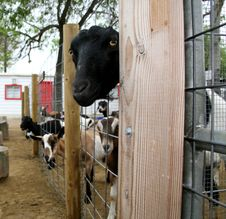Free Black Goat Looking Through Fence Stock Image - 749611