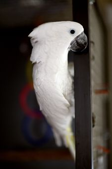 White Umbrella Cockatoo Stock Image