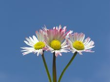 Free White And Red Daisies Stock Images - 749724