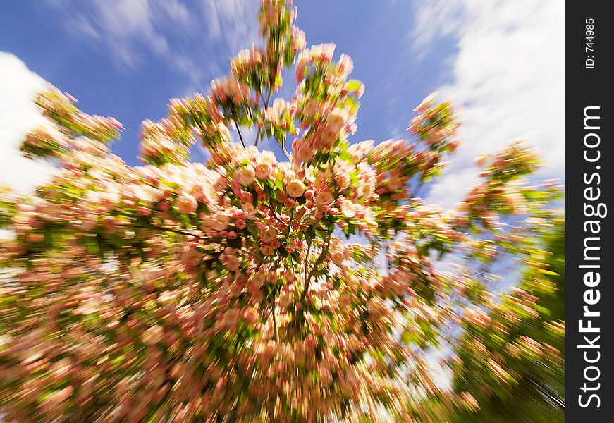 Zoom/motion shot of peach blossoms