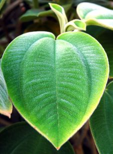 Free Heart Leaf Stock Photo - 750470