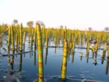 Free Water Horsetail Royalty Free Stock Photography - 750687
