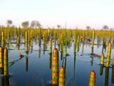 Free Water Horsetail Royalty Free Stock Photo - 750695