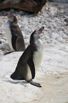 Free Two Penguins Stock Images - 750774