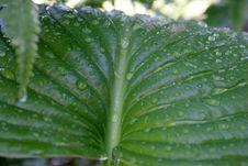 Hosta Leaf Royalty Free Stock Images