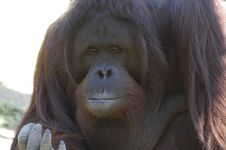 Free Eyes Reflection (orangutan) Royalty Free Stock Photo - 751585