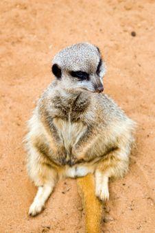 Free Sitting Meerkat Stock Photos - 751793