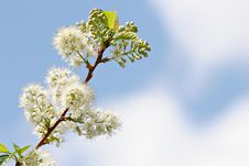 Free White Blossoms Stock Photos - 751883