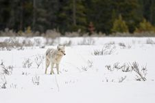 Coyote In Yellowstone Stock Images
