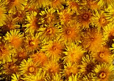 Free Yellow Flower Heads Stock Photography - 752392