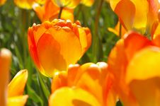 Free Orange Tulip Royalty Free Stock Photography - 752847