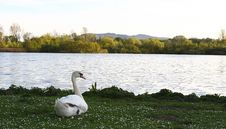 Free Swan Royalty Free Stock Images - 753419