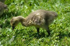 Free Gosling Feeding Stock Photo - 753610