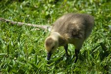 Free Gosling Feeding Stock Images - 753614