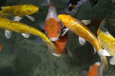 Free Yellow And Oranges Fishes Royalty Free Stock Photography - 754257