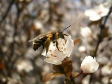 Free Bee On The Cherry Flower Stock Photo - 754370