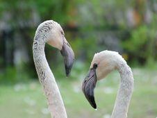 Pair Of Flamingos Stock Image