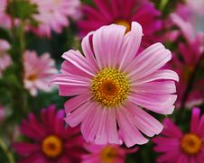 Free Pink Gerbera Stock Photos - 755023