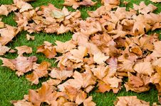 Free Autumnal Leaves Royalty Free Stock Photography - 755337