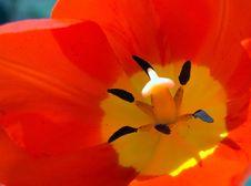 Free Tulip Macro Royalty Free Stock Photo - 756215