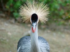 Free Crowned Crane Stock Image - 756701