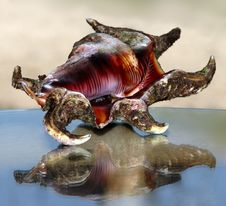 Free Spider Sea Shell Stock Photo - 758100