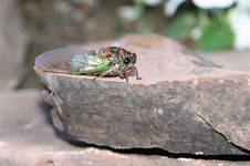 New Cicada Stock Images