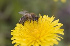 Free Bee On A Dandelion Royalty Free Stock Photography - 758887